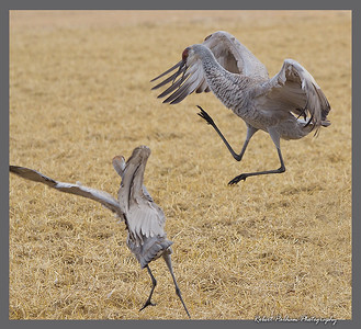 (BI-13057)  Sandhill cranes sparring - Monte Vista Nat'l Wildlife Refuge, Colorado.