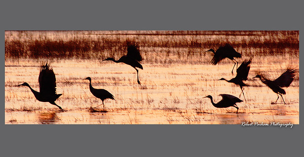 (BI-09031)  Sandhill cranes take flight at sunrise - Monte Vista Nat'l Wildlife Refuge, Colorado.