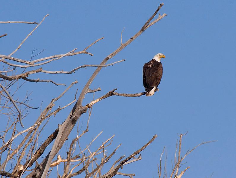 (BI-09055) Bald Eagle near Monte Vista, Colorado