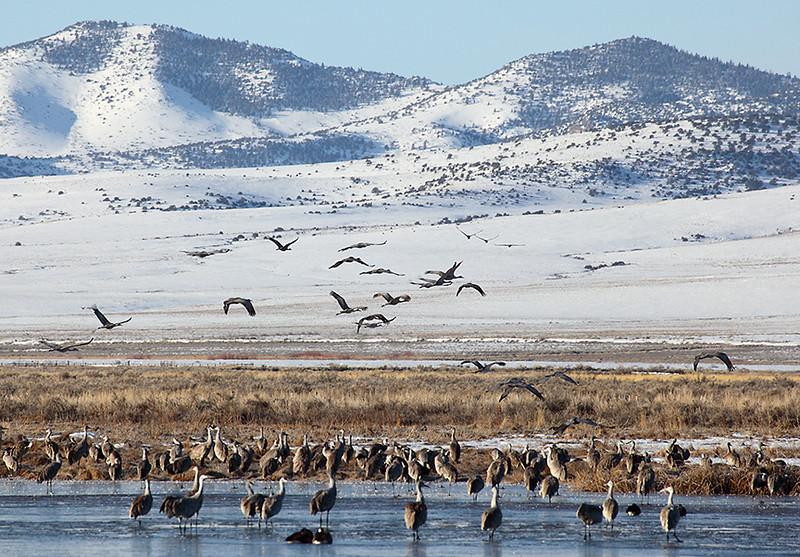 (BI-10065) Sandhill  Cranes gathered at Monte Vista Nat'l Wildlife Refuge in Colorado