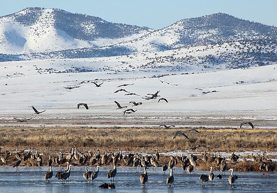 (BI-10065) Sandhill  Cranes gathered at Monte Vista Nat'l Wildlife Refuge in Colorado