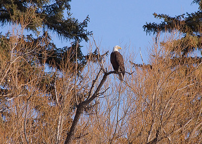 (BI-09056) Bald Eagle near Monte Vista, Colorado