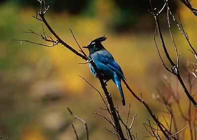 (C059) Steller's Jay - Colorado