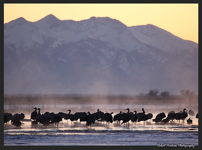 (BI-10005)  Sandhill cranes gathered at sunrise in Monte Vista Nat'l Wildlife Refuge, Colorado.