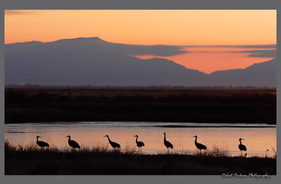 (BI-09023)  Sandhill cranes at sunrise - Monte Vista Nat'l Wildlife Refuge, Colorado.