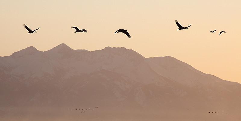 (BI-10043) Sandhill Cranes in flight at Monte Vista Nat'l Wildlife Refuge in Colorado; Mount Blanca in background.