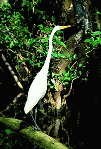 (I033) Egret - Big Cypress Preserve, Florida