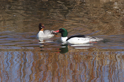 (BI-10103) Common Merganser, male (with green head) and female, at Monte Vista Nat'l Wildlife Refuge in Colorado