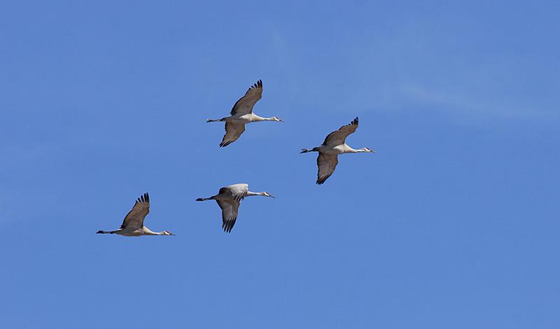(BI-10118) Sandhill  Cranes above Monte Vista Nat'l Wildlife Refuge, Colorado