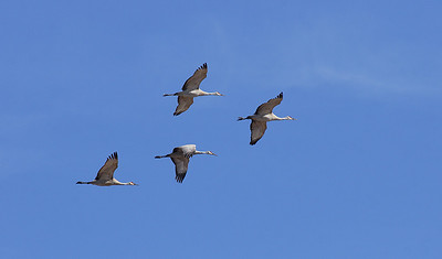 (BI-10118) Sandhill  Cranes above Monte Vista Nat'l Wildlife Refuge, Colorado
