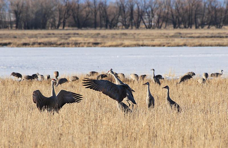 (BI-10069) Sandhill  Cranes' mating dance ritual at Monte Vista Nat'l Wildlife Refuge, Colorado