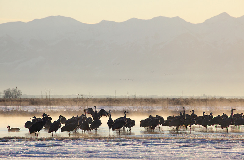 (BI-10049) Sandhill  Cranes gathered at Monte Vista Nat'l Wildlife Refuge in Colorado