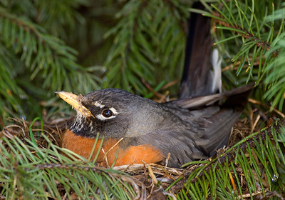 (BI-0701) Robin on nest situated in spruce tree - Colorado Springs, Colorado