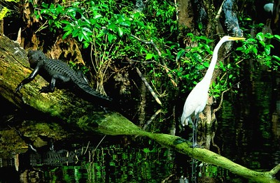 (I084) Alligator & Egret - Big Cypress Preserve, Florida