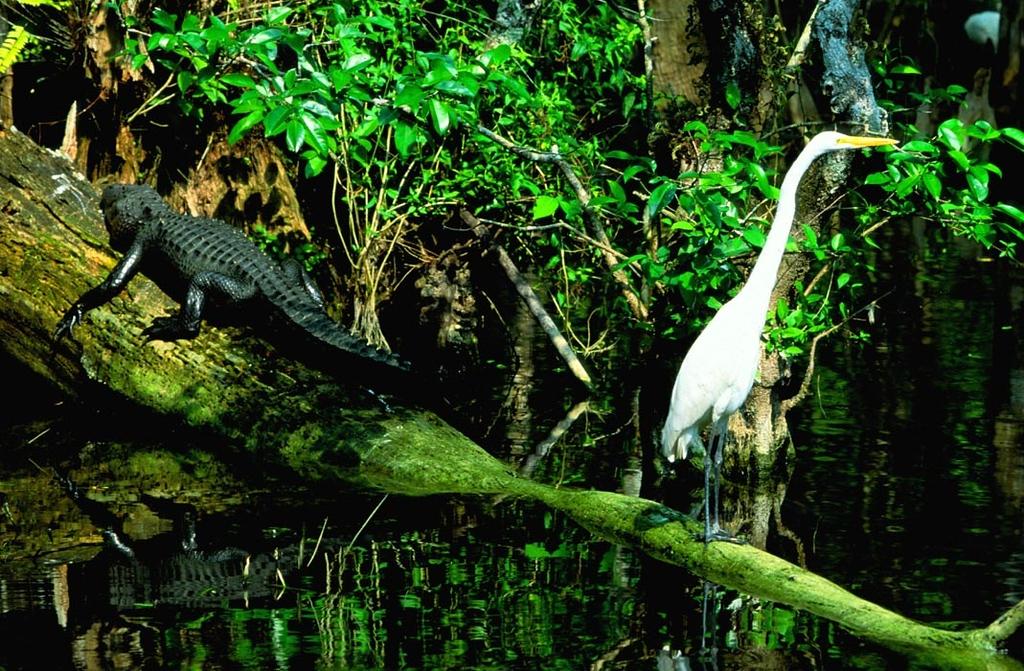 (I084) Alligator & Egret - Big Cypress Preserve, Florida