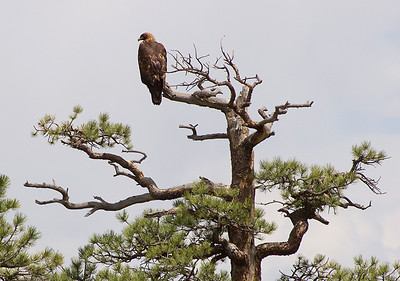 (BI-0637) Golden Eagle in Pike National Forest, Colorado