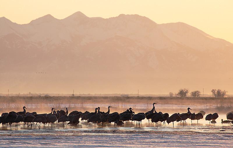 (BI-10027) Sandhill  Cranes gathered at Monte Vista Nat'l Wildlife Refuge in Colorado during the spring migration; sunrise photo