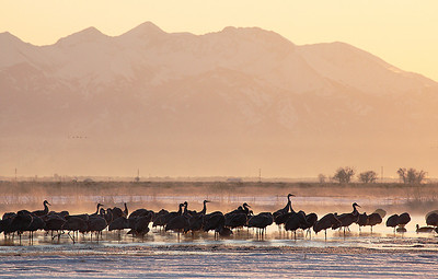 (BI-10027) Sandhill  Cranes gathered at Monte Vista Nat'l Wildlife Refuge in Colorado during the spring migration; sunrise photo