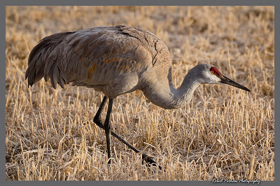 (BI-13107)  Sandhill crane - Monte Vista Nat'l Wildlife Refuge, Colorado