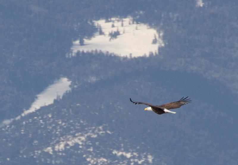 (BI-09058) Bald Eagle near Monte Vista, Colorado