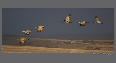 (BI-13121)  Morning Flight - Sandhill cranes in Monte Vista Nat'l Wildlife Refuge, Colorado.