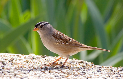(BI-0634) White-crowned Sparrow near Sterling, Colorado