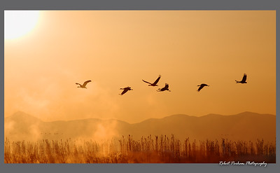 "(BI-10042)  ""Into the Sun"" - Sandhill cranes in flight at Monte Vista Nat'l Wildlife Refuge, Colorado."