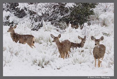 (DA-0804)  Doe in the Snow - mule deer in Garden of the Gods, Colorado.