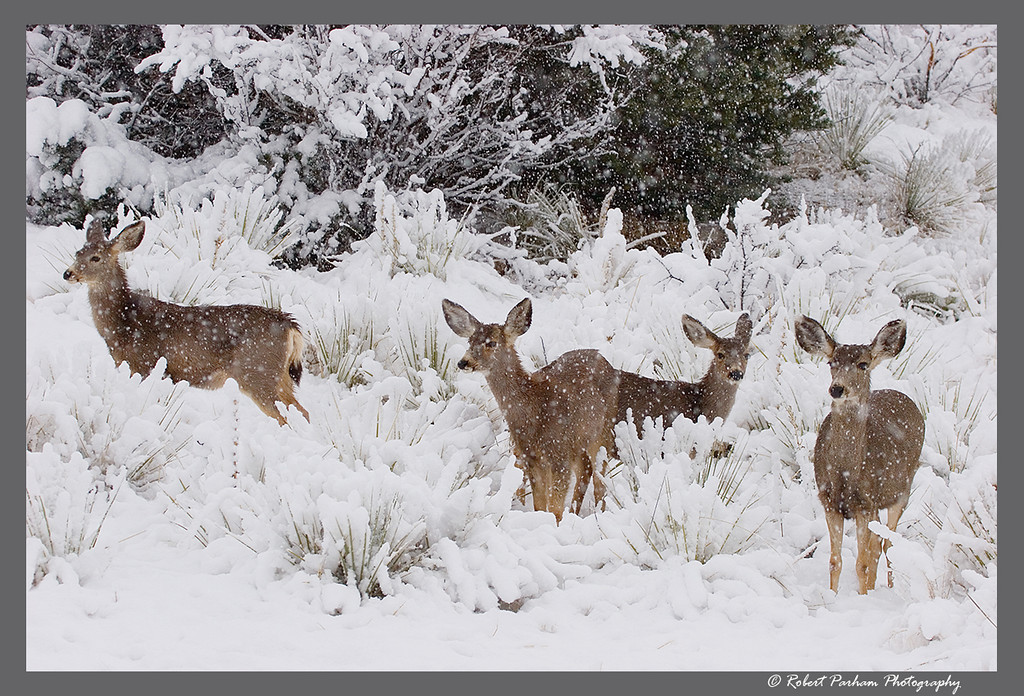 (DA-0804)  Doe in the Snow - mule deer in Garden of the Gods, Colorado.