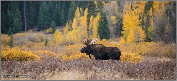 Bull Moose in the Valley  (EM-18012)