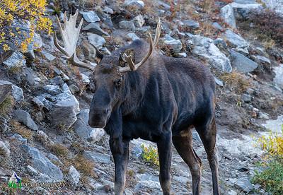 Bull Moose of the Tenmile Range (EM-19216)