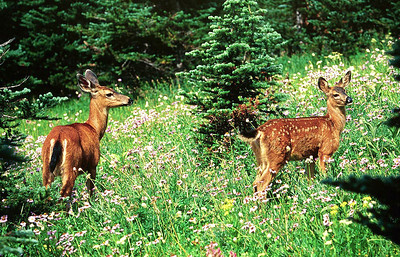 (B084) Blacktailed doe and fawn - Mt. Rainier National Park, Washington