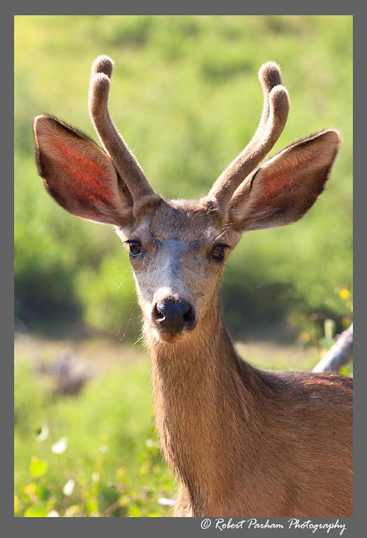 (DA-0707)  Young mule deer buck in velvet - Colorado.