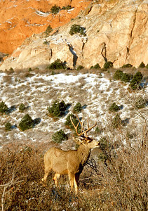 (Xb025) Buck mule deer - Colorado