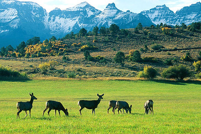 (B040) Mule deer and Sneffels Range - Colorado