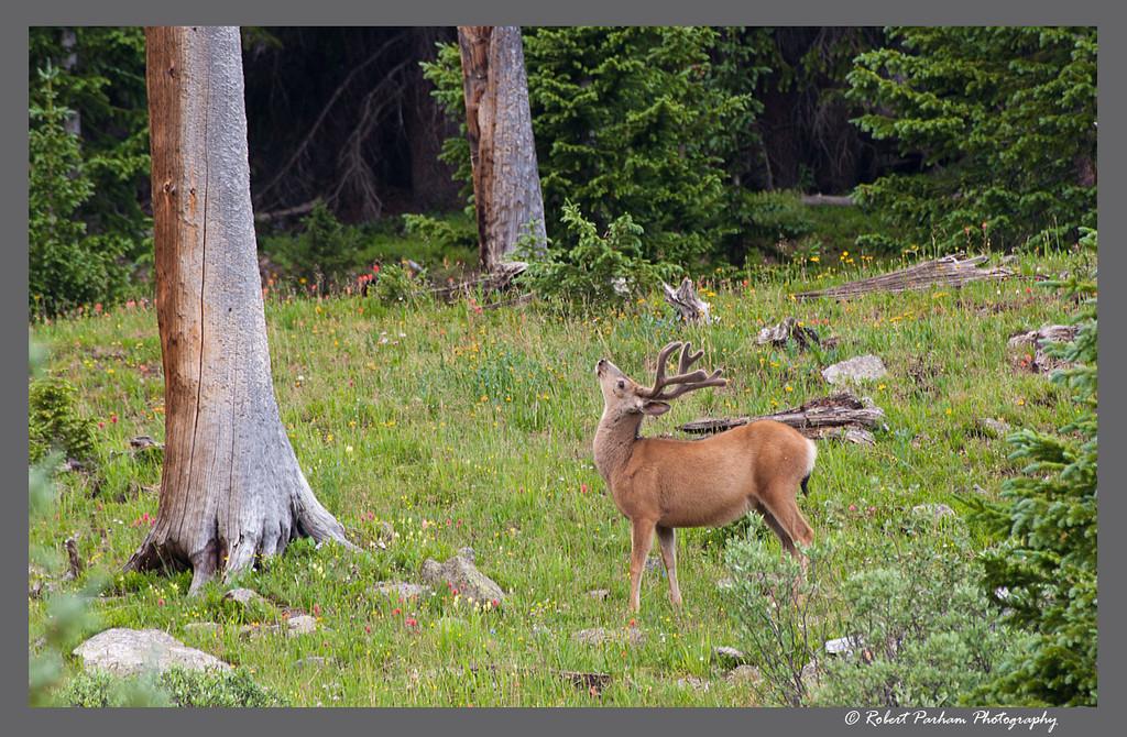 (DA-0703)  Things Are Looking Up - Mule deer buck in Colorado.