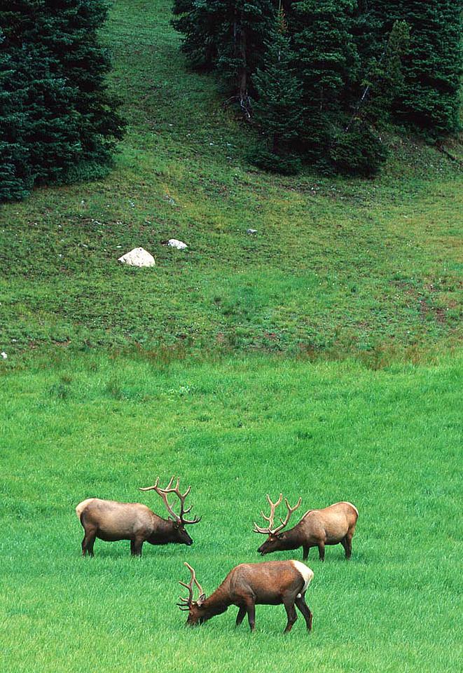 (E070) Bull elk trio - Rocky Mountain National Park, Colorado