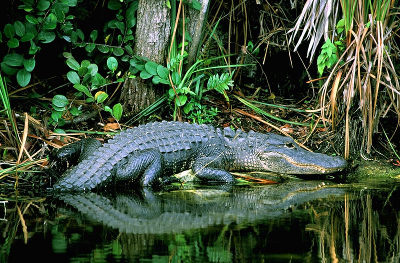 (I036) Floria Gator - Big Cypress National Preserve