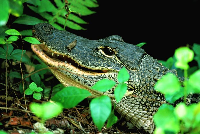 (I028) Young alligator - Big Cypress Preserve, Florida