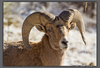 (SG-14090)  Ram Portrait 2