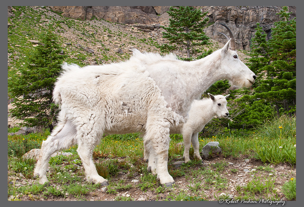 (SG-07007)  Mountain Goats - Nanny and Kid