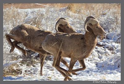 (SG-14011)  Bighorn Rams - Eating on the Run - Colorado