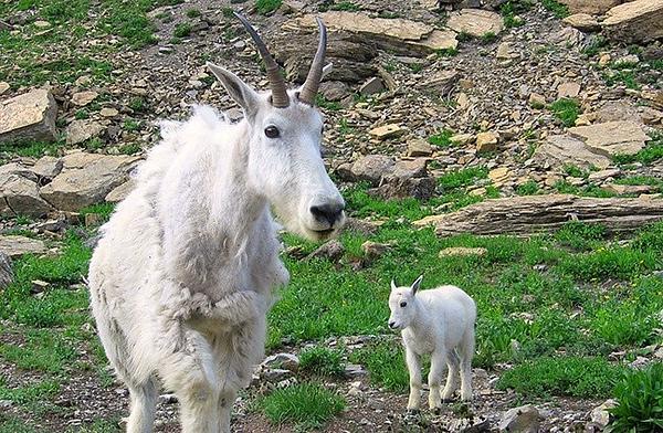 (IMG-3111)  Mom and Kid Mountain Goats