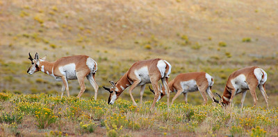 (DA-0915)  Pronghorn Bucks