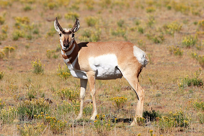 (DA-0912)  Pronghorn Buck