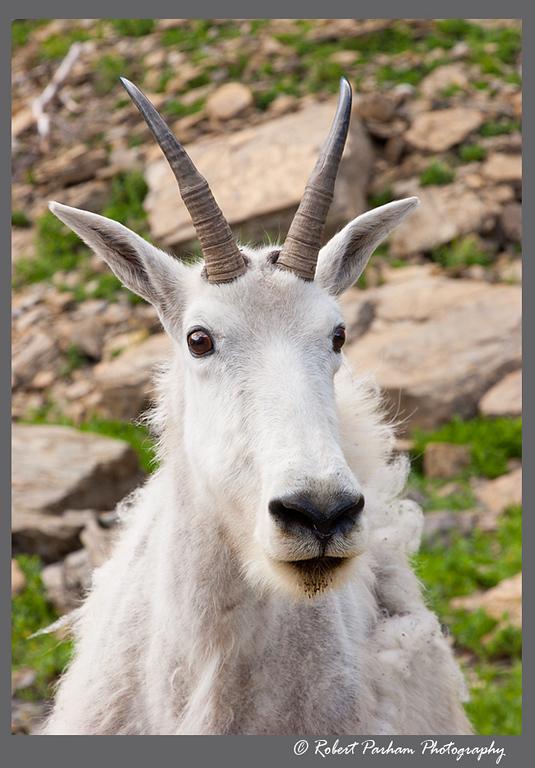(SG-07003)  Mountain Goat Portrait