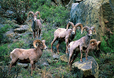 (B004) Bighorn Rams