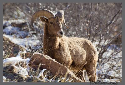 (SG-14043)  Regal Ram