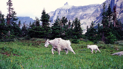 (SG-0725)  Mom and kid Mountain Goats