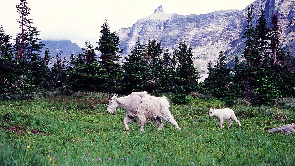 (SG-0725)  Mom and kid Mountain Goats